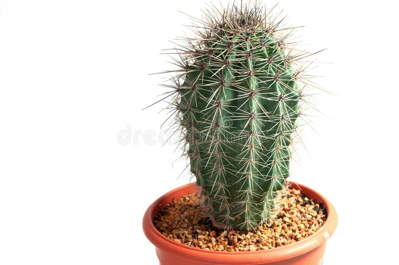Closeup saguaro cactus in brick pot, isolated on a white background, side view stock photo