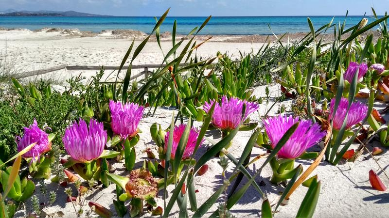Closeup of Carpobrotus Edulis Hottentot-fig fuchsia flowers on the white sand of Budoni beach in Sardinia with the blue of the. Flat sea and the sky in the royalty free stock photography