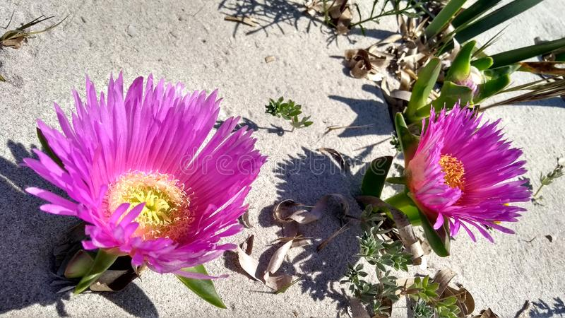 Closeup of Carpobrotus Edulis Hottentot-fig fuchsia flowers on the white sand of Budoni beach in Sardinia. Closeup of Carpobrotus Edulis Hottentot-fig fuchsia royalty free stock photo