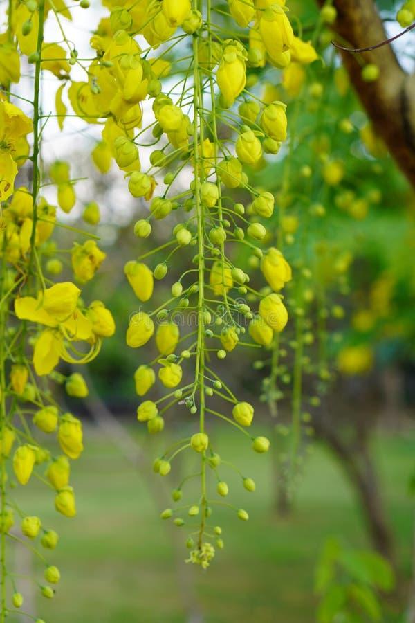 Closeup Cassia fistula bouquet background royalty free stock photo