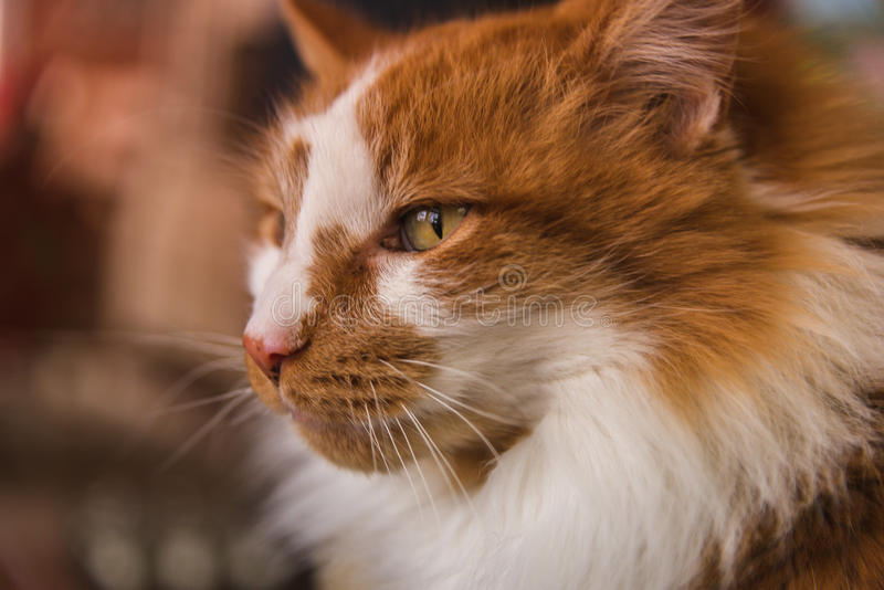 Closeup of cat face looking to the left. Orange and white ginger cat with long hair and green eyes royalty free stock images
