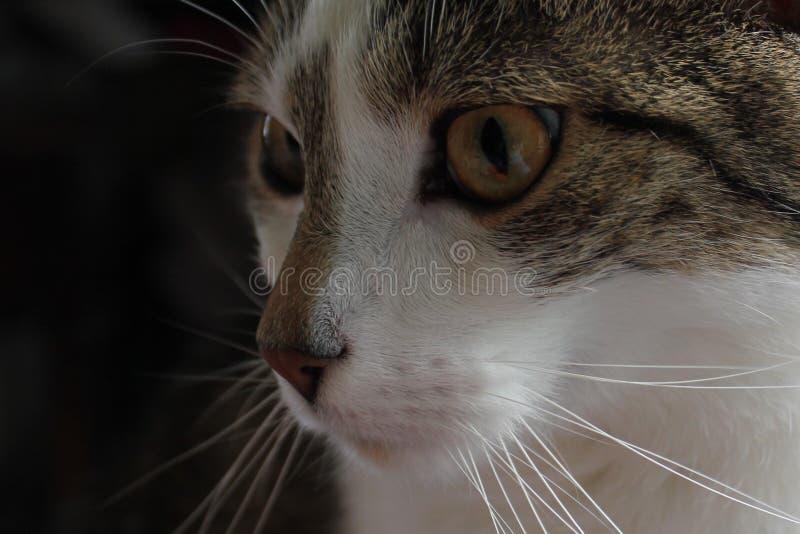 closeup catface royalty free stock photography