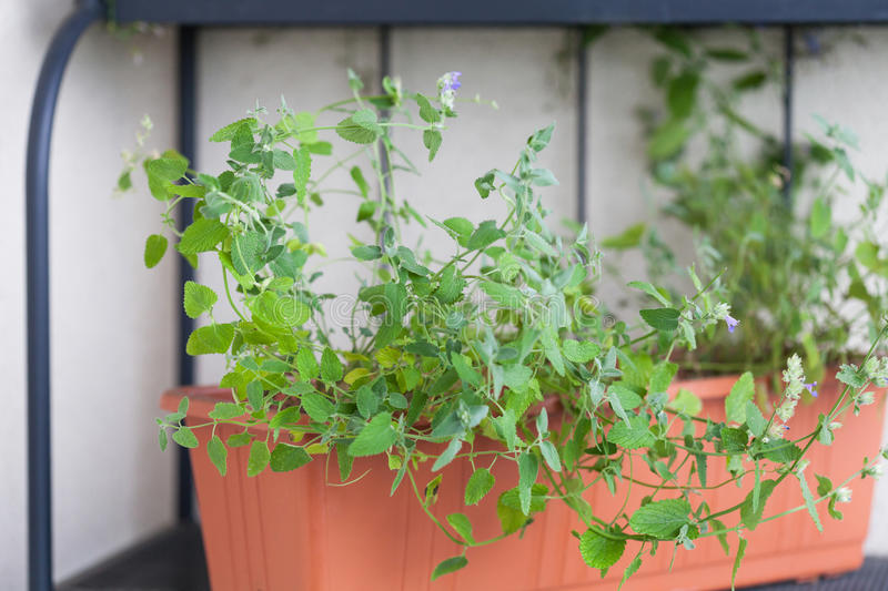 Closeup of catnip on green background. Close up of catnip, green herb growing in a container royalty free stock images