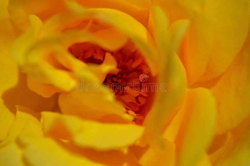 Closeup center yellow rose showing pistil stamen stigma filaments. Closeup of center parts of rose showing pistil, stamen, stigma, filaments. stigma – stock image