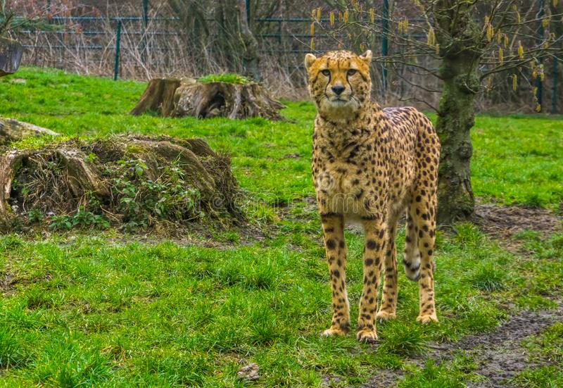 Closeup of a cheetah standing in the grass, popular zoo animals, Vulnerable animal specie from Africa. A closeup of a cheetah standing in the grass, popular zoo stock images