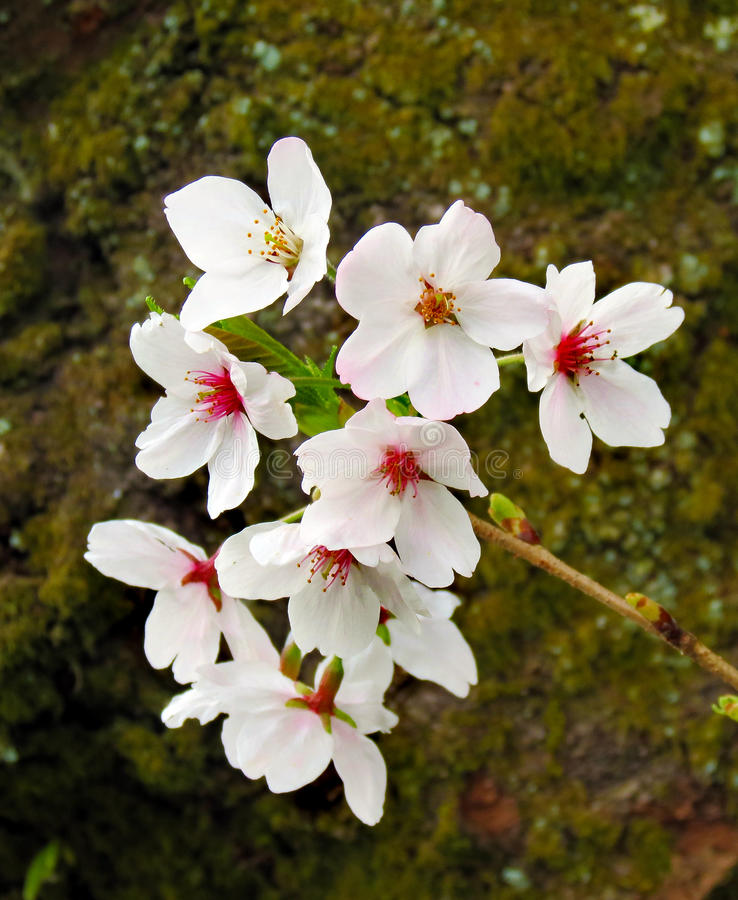 Closeup of cherry blossoms royalty free stock image