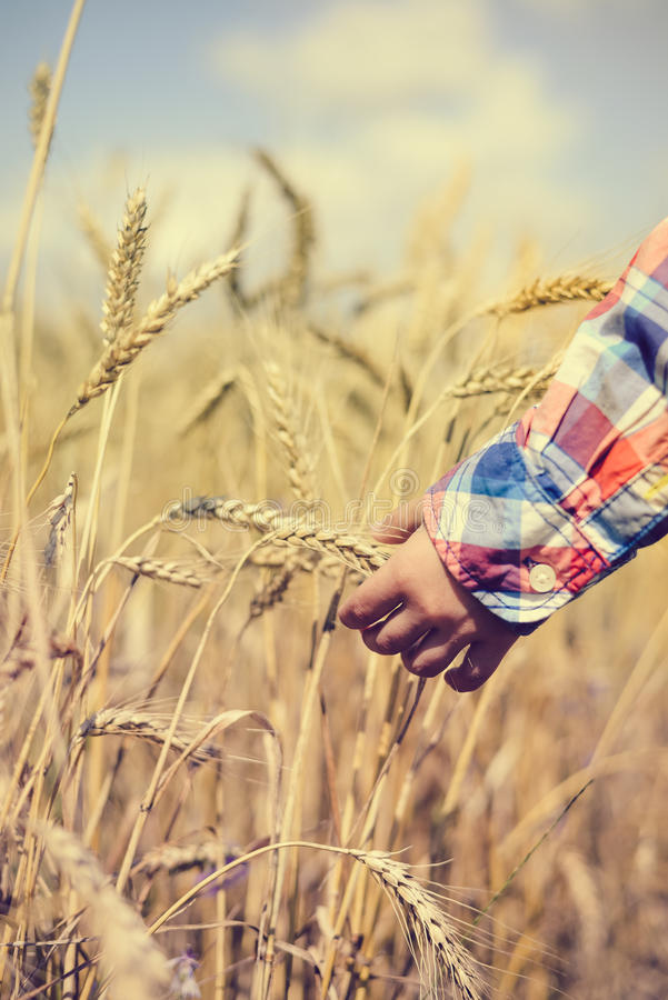 Closeup of child hand holding golden wheat spike royalty free stock photos