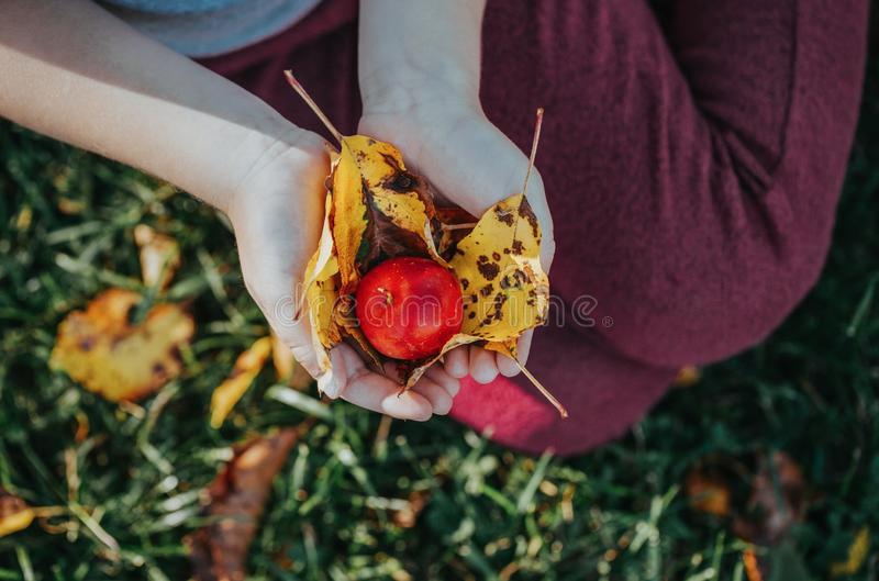 Child hands palms holding small red ripe apple with autumn yellow leaves royalty free stock image
