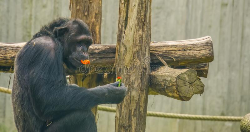 Closeup of a chimpanzee eating vegetables, pet feeding and care, popular zoo animals. A closeup of a chimpanzee eating vegetables, pet feeding and care, popular stock photo