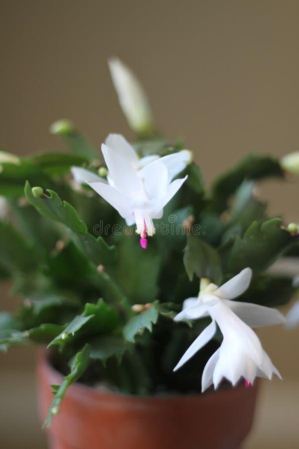 Christmas cactus white blooms  royalty free stock photos