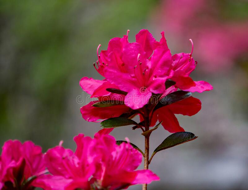 Closeup of a Cluster of Red Azalea Wildflowers. Close up of a cluster of red azalea wildflowers located in the mountain park in the Appalachian Mountains of royalty free stock images