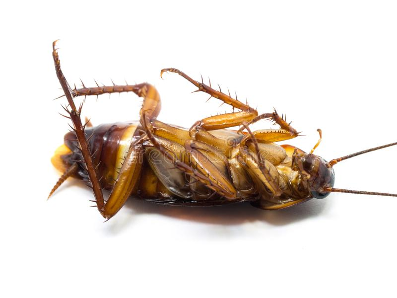 Closeup cockroach show details all of body on a white background ISOLATED. Cockroaches are carriers of the disease.  stock photos
