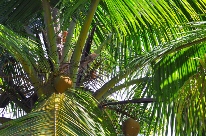 Closeup of Coconut Palm Fronds and Nuts, Fiji. Closeup view of Coconut Palm fronds and nuts in tropical Fiji stock images