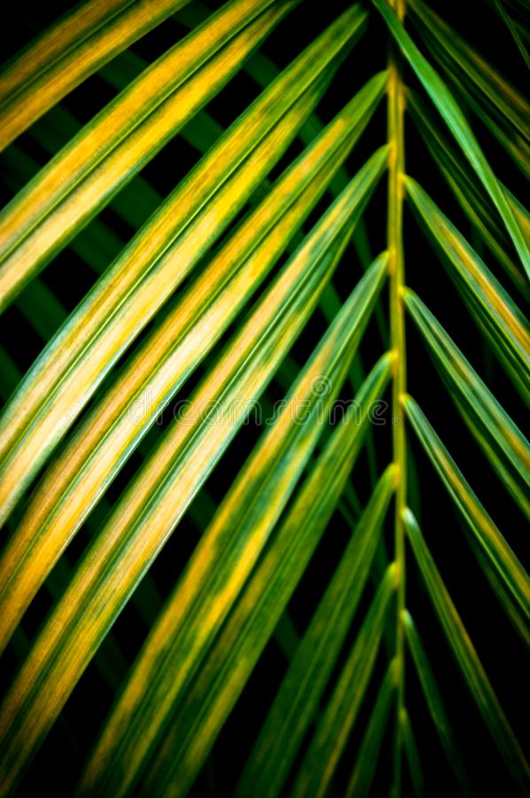 Closeup coconut, palm leaf,green leaves on dark background.Illustration tropical exotic leaf for wallpaper vintage Hawaii style pa stock photos
