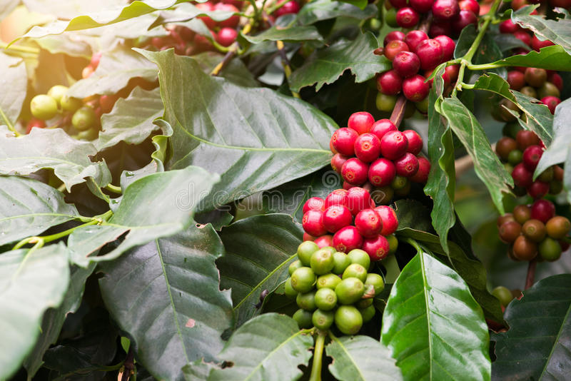 Closeup of coffee beans fruit on tree in farm stock photo