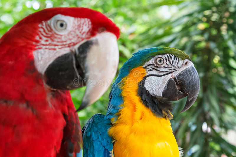 Closeup colorful couple macaws on green nature. Background royalty free stock image