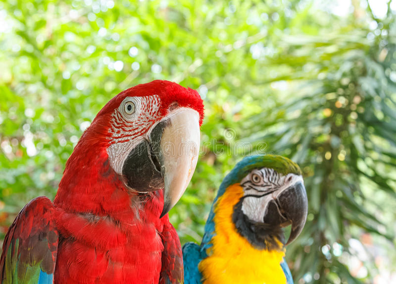 Closeup colorful couple macaws on green nature. Background stock photography