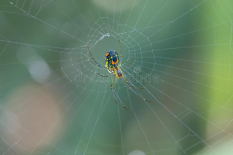 Orchard Spider Building A Web. Closeup of a colorful Orchard spider, with belly print that appears to have a smiling face on it, is building it`s web. Focus is stock photo