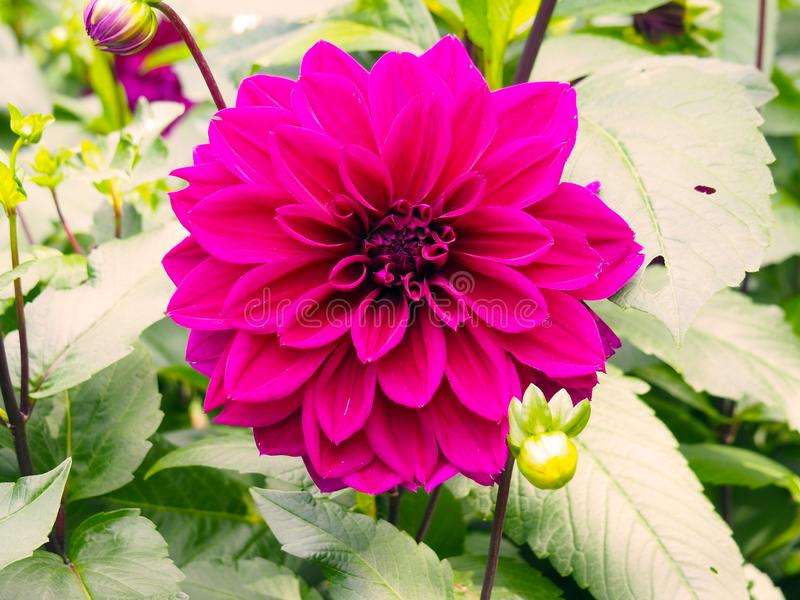 Closeup of colorful pink decorative double blooming Dahlias with broad and flat petals and green leafs background.  royalty free stock photography
