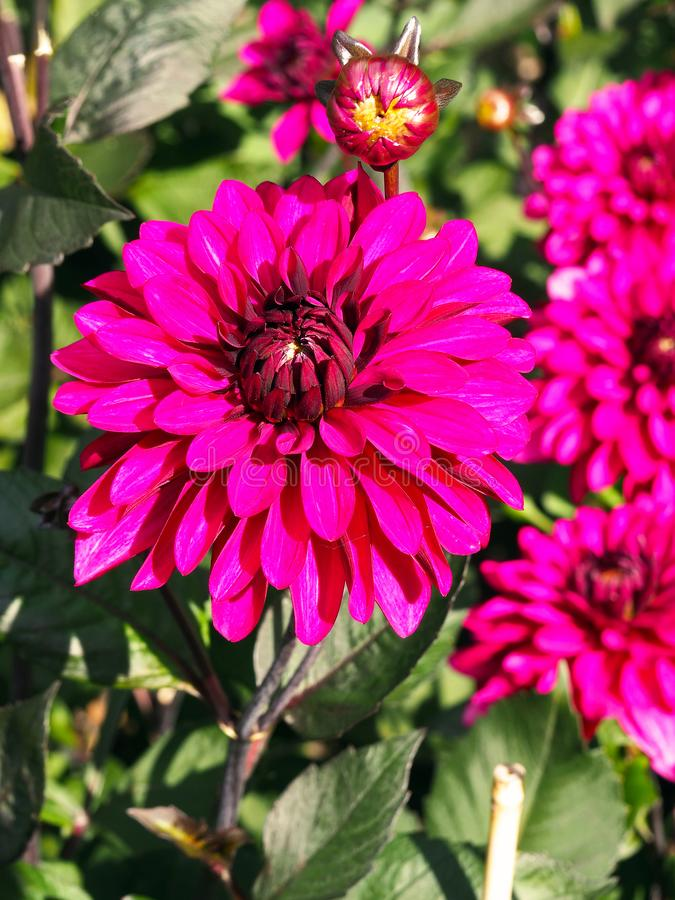 Closeup of colorful pink decorative double blooming Dahlias with broad and flat petals and green leafs background.  royalty free stock photo