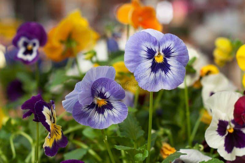 Colorful viola in gardening store. Closeup of colorful viola in gardening store stock photography