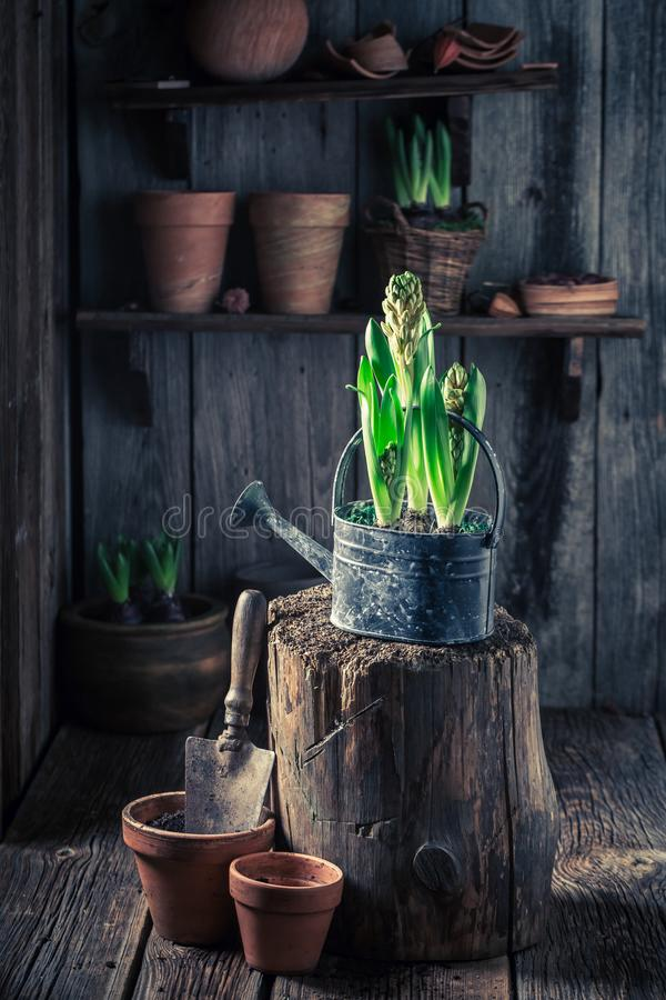 Closeup of colourful hyacinth in an old wooden cottage. In spring royalty free stock image