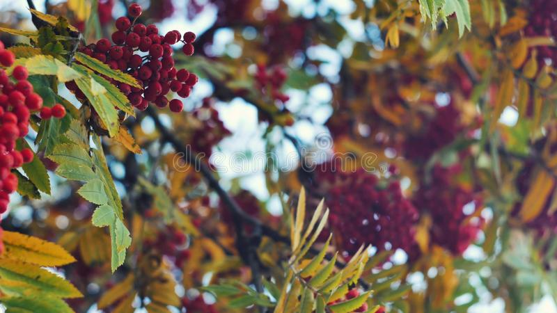 Closeup of orange Rowan berries or Mountain Ash tree with ripe berries in autumn. Closeup of colourfull orange Rowan berries or Mountain Ash tree with ripe royalty free stock photos