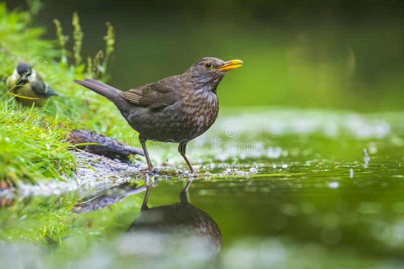 Closeup of a Common Blackbird female, Turdus merula washing, preening, drinking and cleaning in water royalty free stock photo