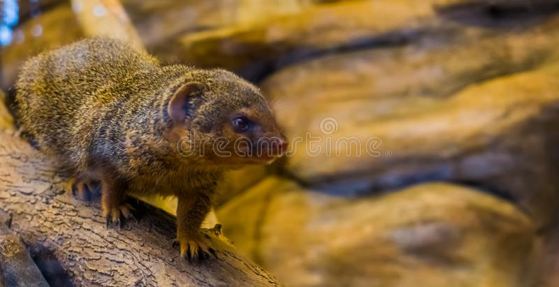 Closeup of a common dwarf mongoose walking over a branch, cute and popular pet, tropical animal from Africa. A Closeup of a common dwarf mongoose walking over a royalty free stock photo