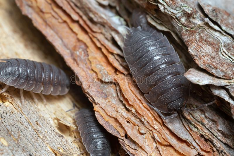 Common rough woodlouses, Porcellio scaber on wood. Closeup of common rough woodlouses, Porcellio scaber on wood royalty free stock photography
