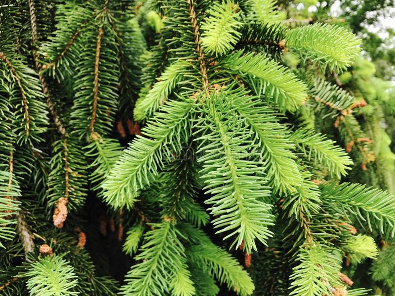 Closeup Conifer Tree royalty free stock images