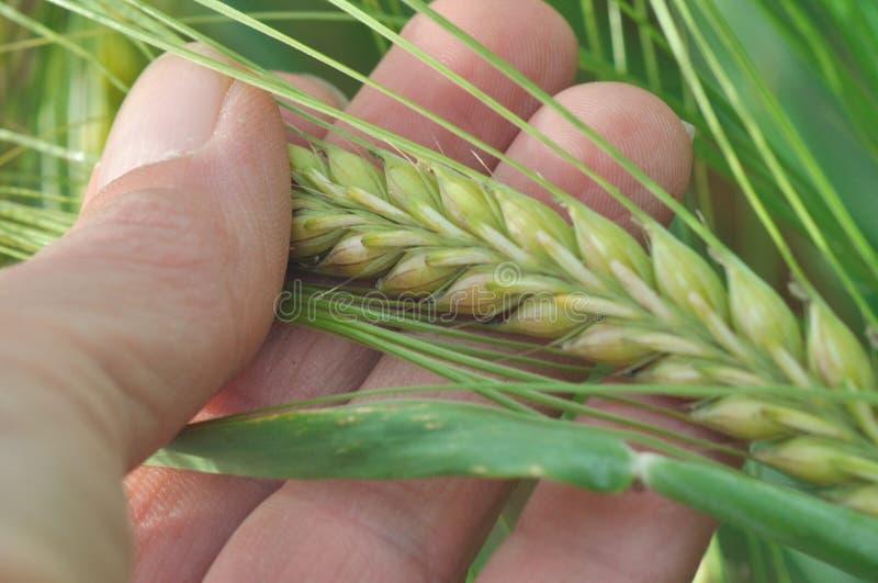 Closeup of corn barley royalty free stock photo