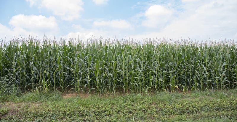Corn Field. Closeup of a corn field stock photos