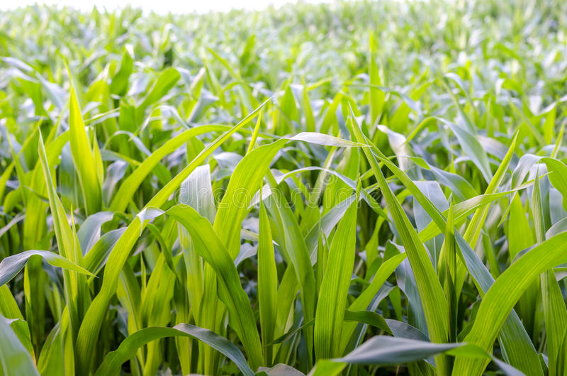 Download Closeup of corn field stock photo. Image of season, plantation - 32707010