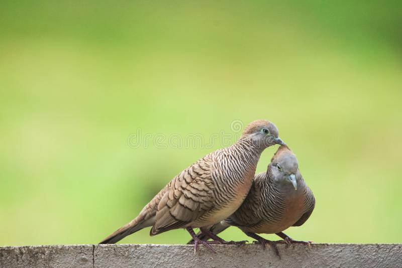 Closeup a couple of Zebra dove (Geopelia striata) sitting on the wall. royalty free stock photography