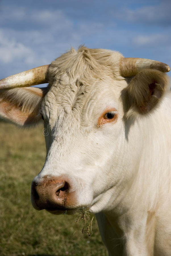 Download Closeup of a cow stock photo. Image of france, outdoor - 11156030