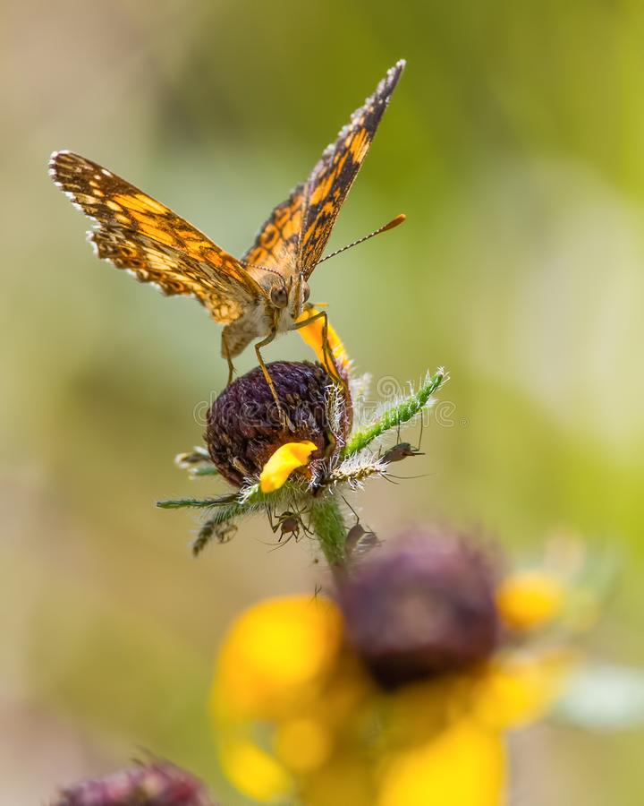 Closeup of a crescent butterfly species on sunflower on a sunny day in the grasslands / prairie of the Crex Meadows Wildlife Area stock photos