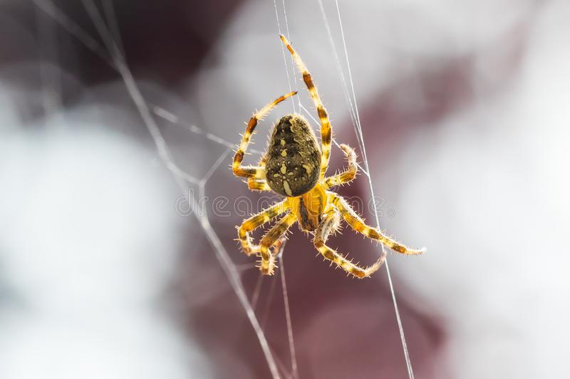 Cross spider, araneus diadematus, in a web royalty free stock images