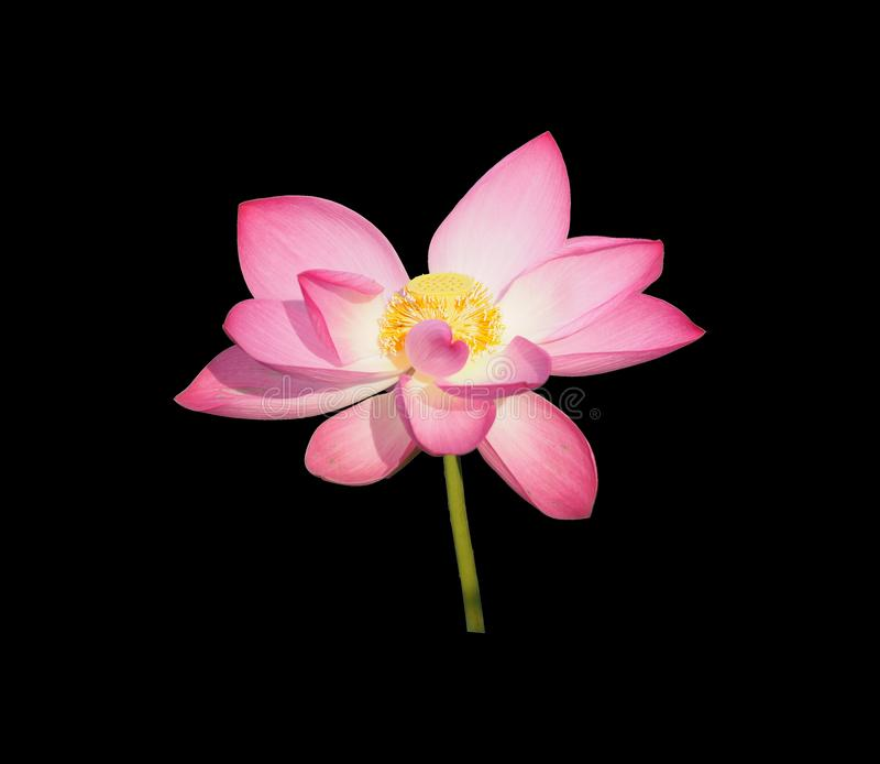 Cut outline waterlily lotus pink flower isolated on black background royalty free stock photography