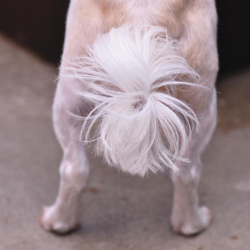 Dog tail. Closeup of cute bichon maltese tail royalty free stock photography