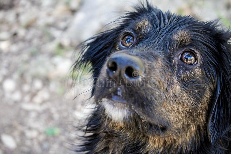 Closeup of a cute black dog`s face looking up royalty free stock images