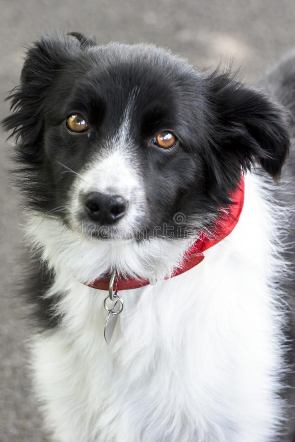 Border Collie, black and white border collie with red kerchief. Closeup of a cute border collie dog looking at camera