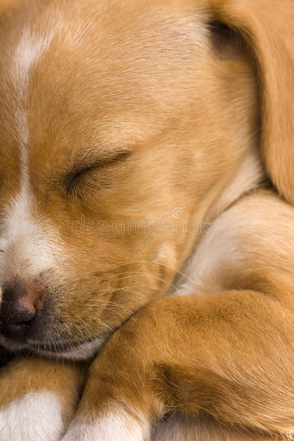 Closeup of a cute dachshund puppy sleeping royalty free stock photo