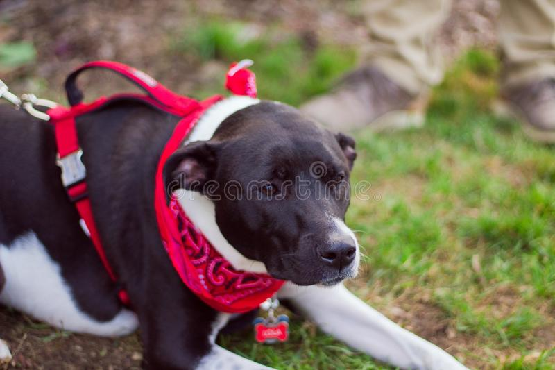 Closeup of a cute dog with a red bandana resting on the ground with blurred background stock photo