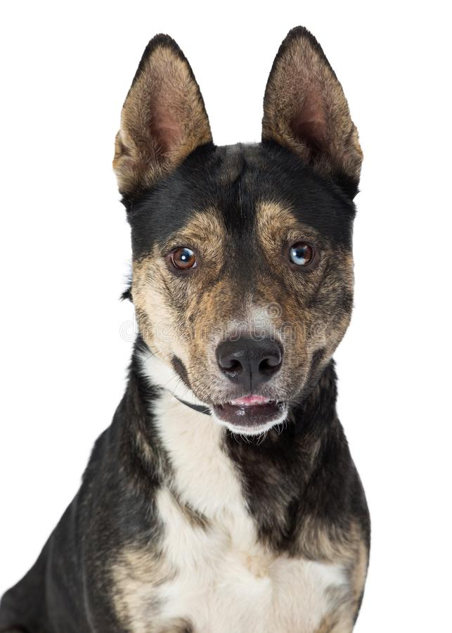 Closeup Cute Happy Shepherd Crossbreed Dog. Closeup of cute brown, black and white medium size mixed Shepherd breed dog with happy expression royalty free stock image