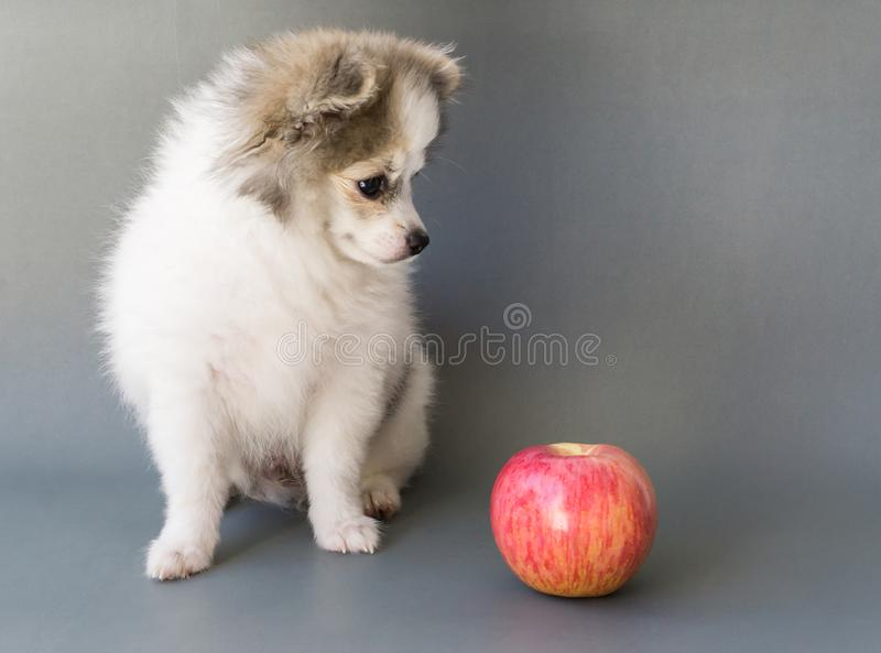 Closeup cute pomeranian dog eating red apple on grey background, pet health care concept royalty free stock image