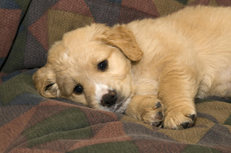 Cute Pup. Closeup of a cute pup lying on his blanket royalty free stock image