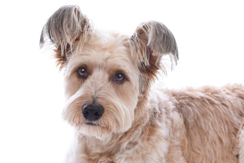 Closeup of a cute shaggy mixed breed dog on white stock images
