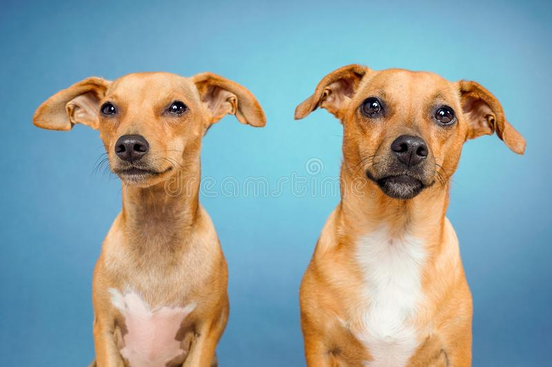 Closeup of cute short-coated tan dogs on a light blue background stock images