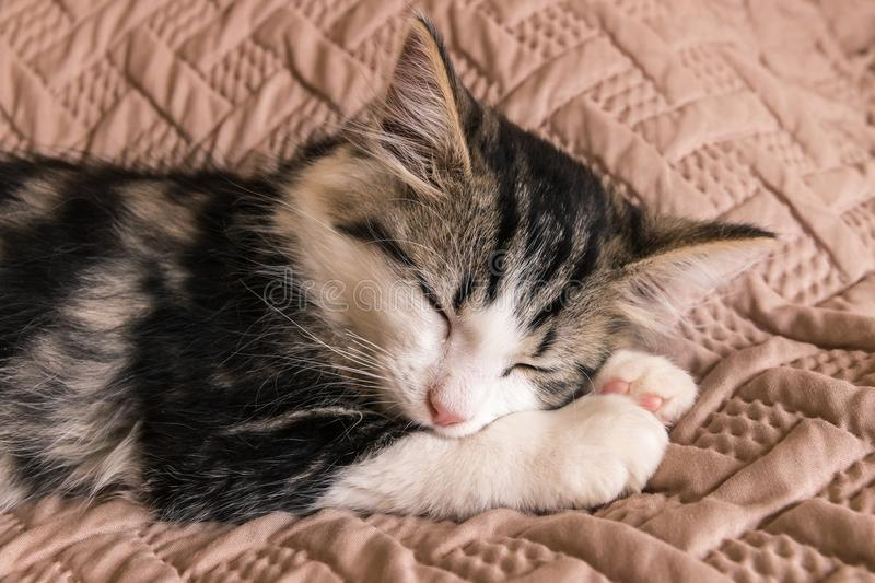Cute tabby kitten sleeping on brown quilt cover stock photo